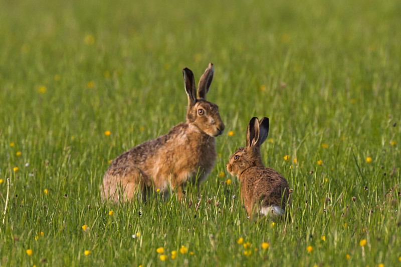 Leveret and mother - Hares