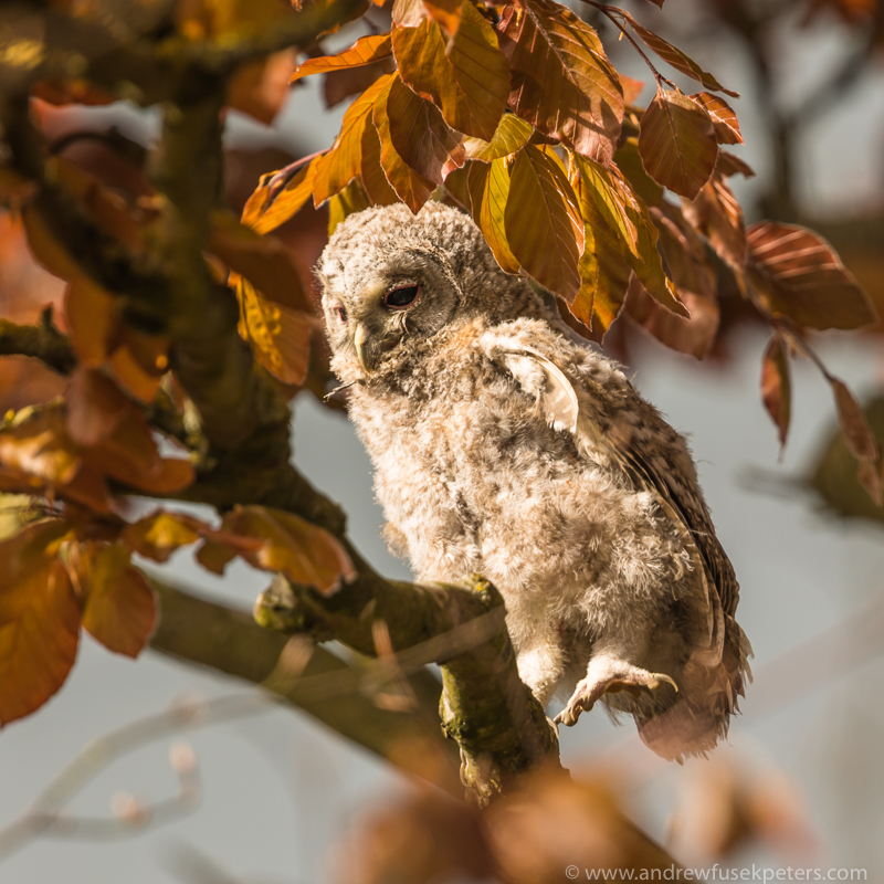Tawny chick wing stretch 3 - UK Owls