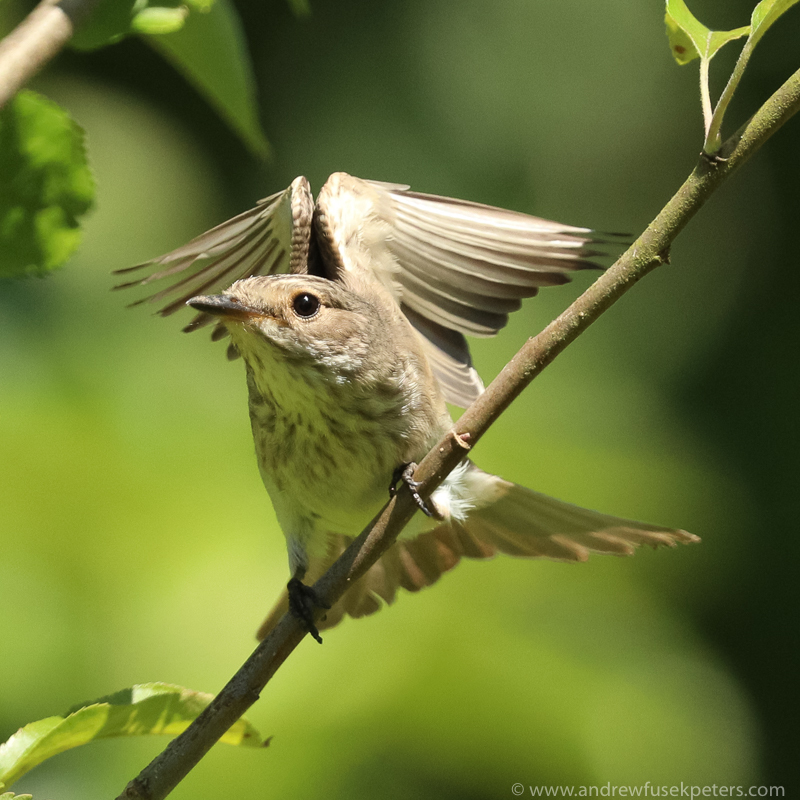 flycatcher wing flare 1 - Garden Birds