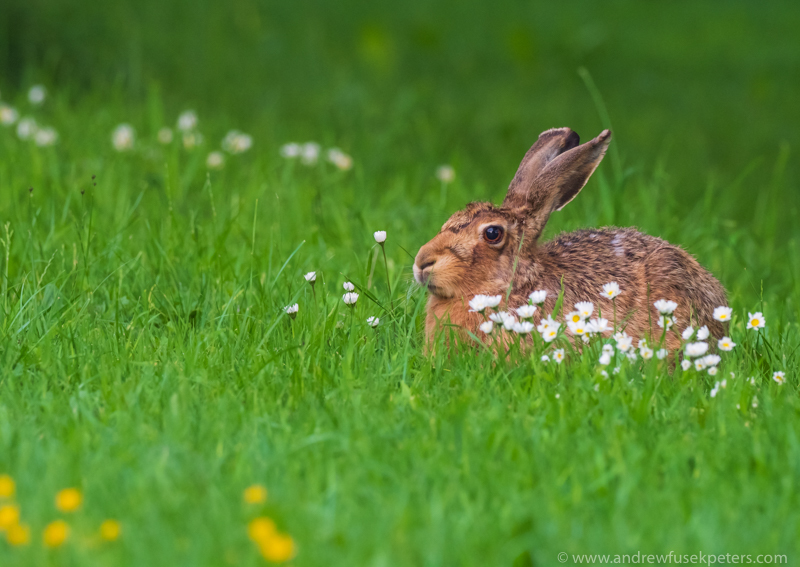 mother hare in the dusk light - Olympus Wildlife