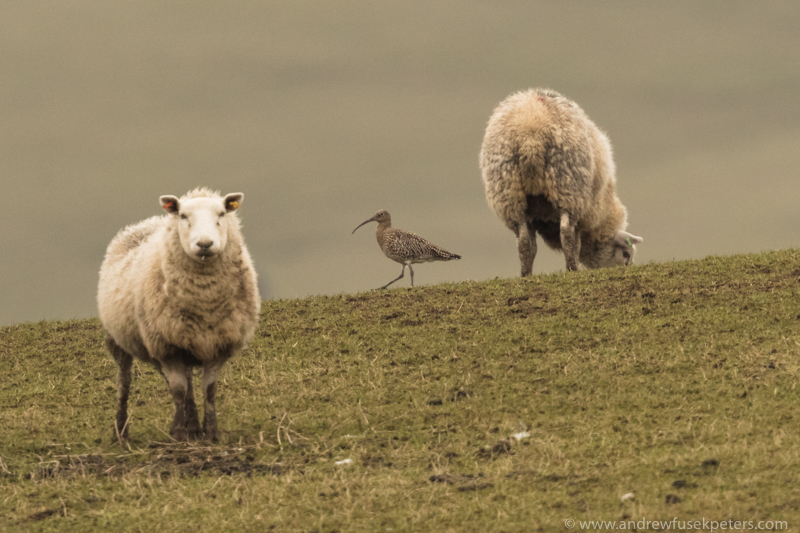 curlew between sheep - UK Birds