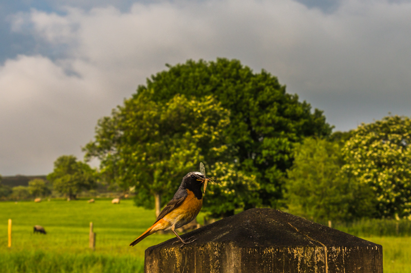 male redstart on post, Stiperstones - Wide-angle Wildlife