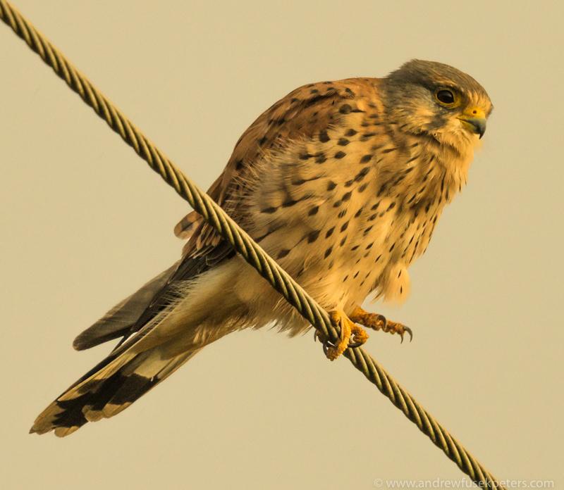 Kestrel in stormlight Autumn - UK Birds of Prey