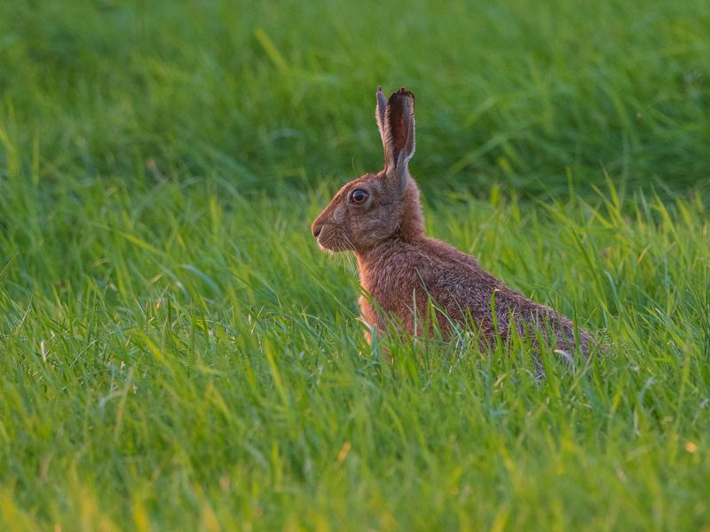 hare at sunset final portrait-1 - Olympus Wildlife