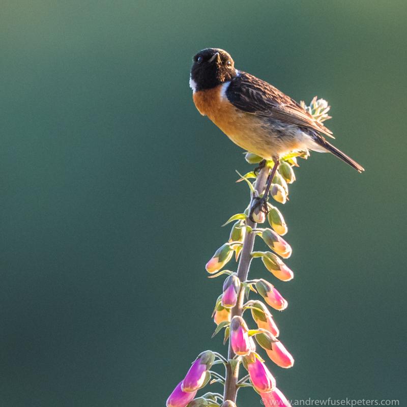 Stonechat foxglove Long Mynd - UK Birds