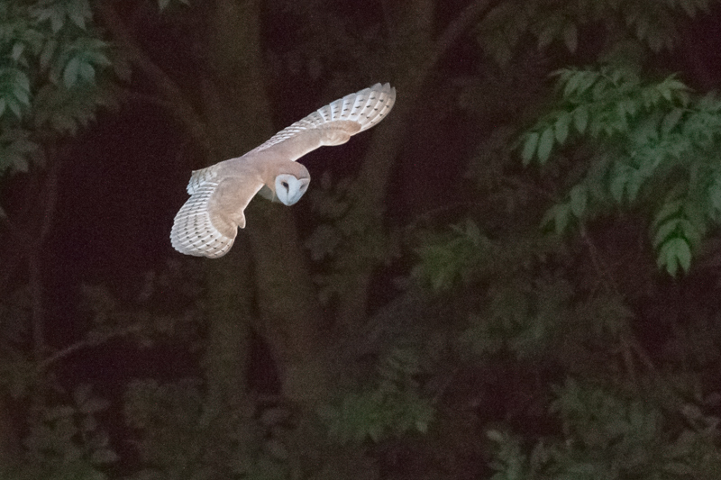 Barn owl at dusk - Wilderland, Wildlife & Wonder from the Shropshire Borders