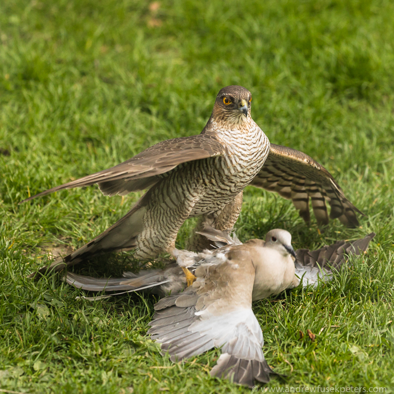Sparrowhawk with collared dove 1 - Garden Birds