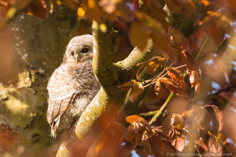 tawny chick sunny portrait - UK Owls