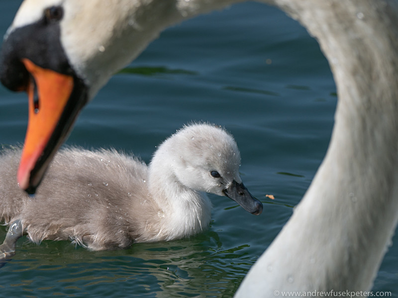 Cygnet and mother swan portrait - Olympus Wildlife