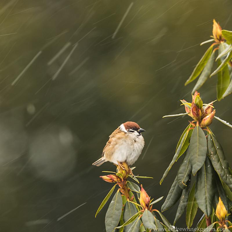 tree sparrow in the blizzard - Garden Birds