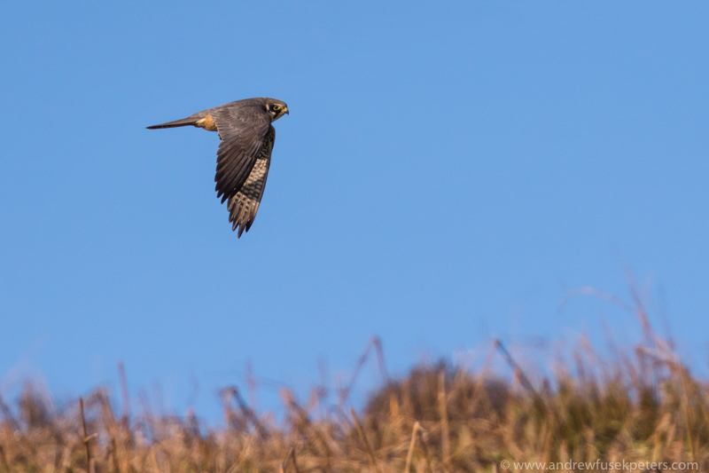 Hobby flying over bracken Long Mynd - UK Birds of Prey