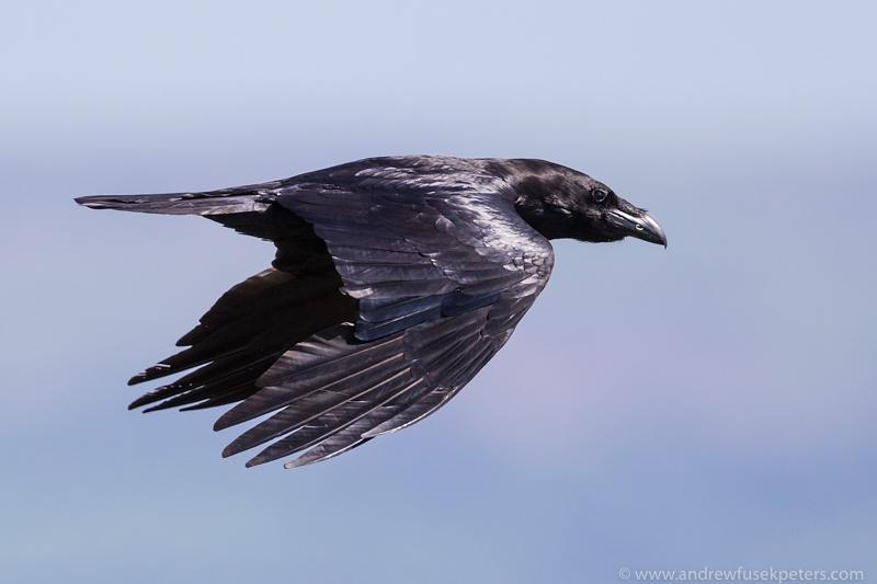Raven in flight, Long Mynd - UK Birds