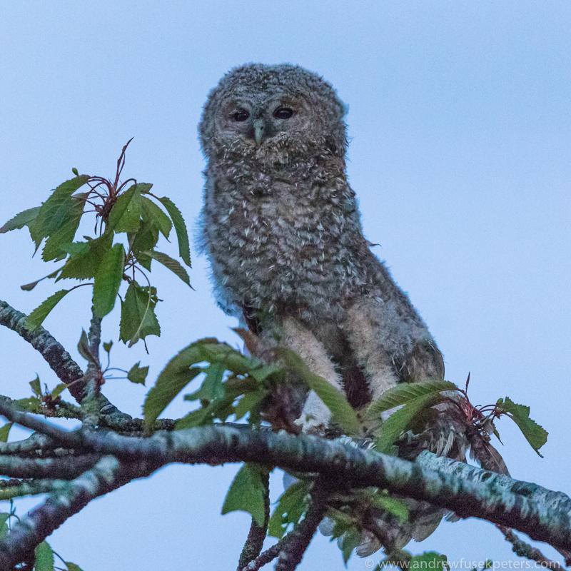 Tawny chick stretching - UK Owls