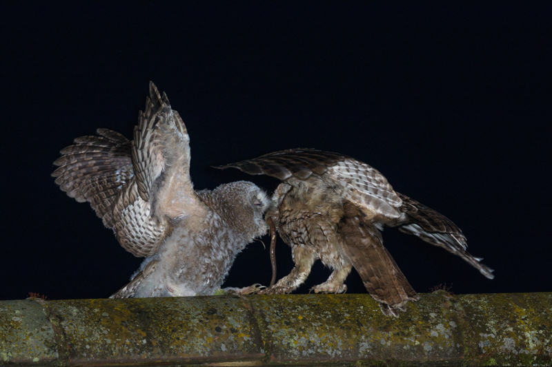 Tawny owl fledgling being fed - Showcase