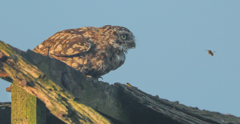 little owl and wasp - UK Owls