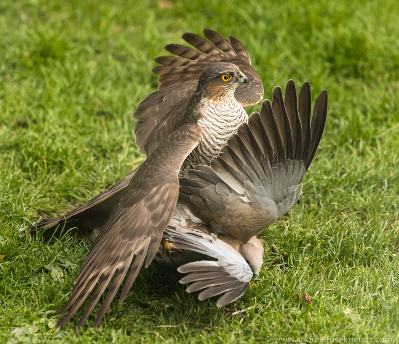 Sparrowhawk and collared dove 3 - UK Birds of Prey
