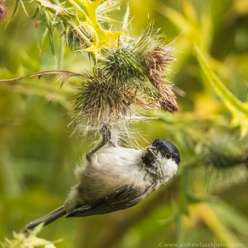 Marsh tit on thistle 2 - UK Birds