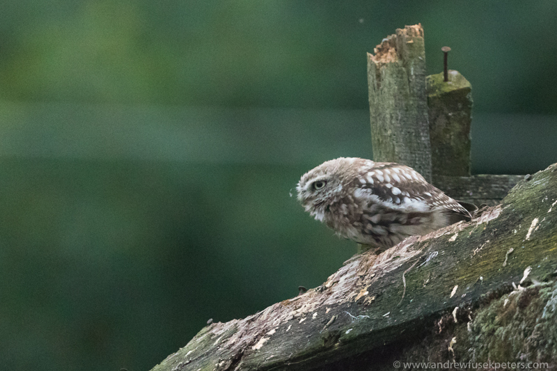 little owl perch 3 - UK Owls