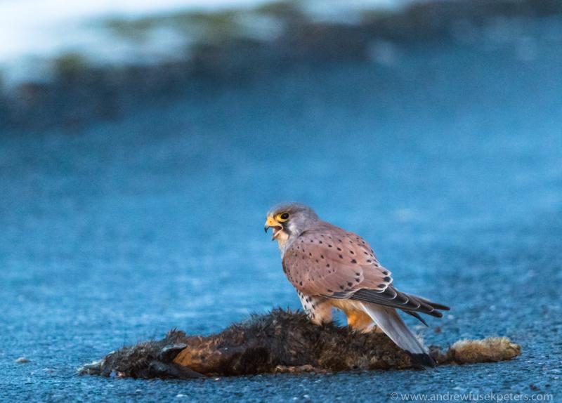 Kestrel on road kill, Cairngorms - UK Birds of Prey