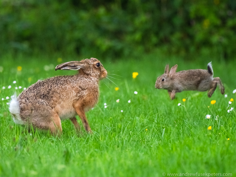 hare being attacked by brave and bonkers baby bunny - Olympus Wildlife