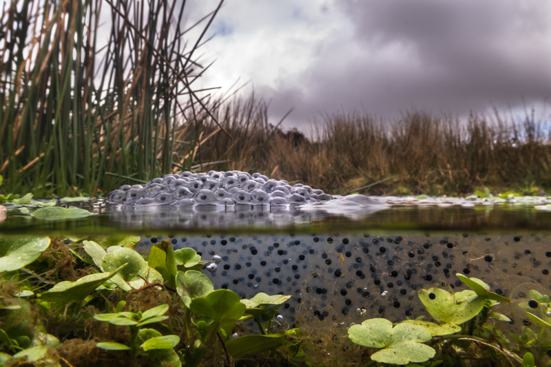 Frogspawn on the Long Mynd - Wide-angle Wildlife