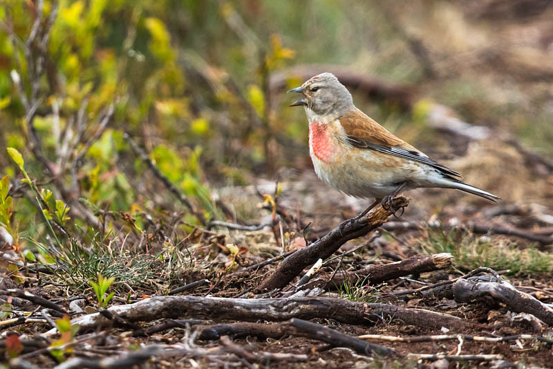 Singing linnet, Stiperstones - Wilderland, Wildlife & Wonder from the Shropshire Borders
