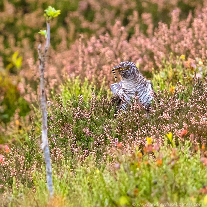 feeding juvenile cuckoo Stiperstones - UK Birds