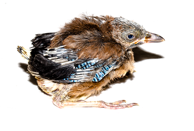 Jay fledgling - Cuan Wildlife Rescue
