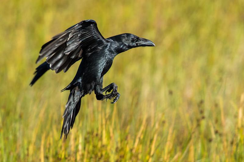 Raven at dawn on Long Mynd - Showcase