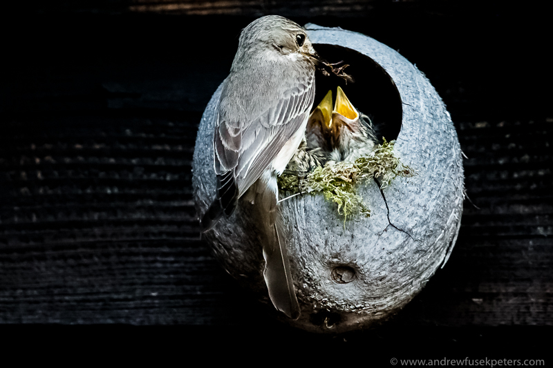 flycatcher pare feeding young - Garden Birds