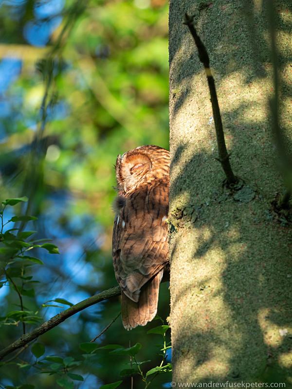 parent tawny owl in evening light near Clun-2 - Olympus Wildlife