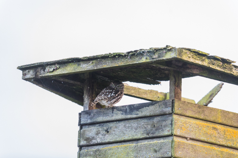 little owl in the roof structure - UK Owls