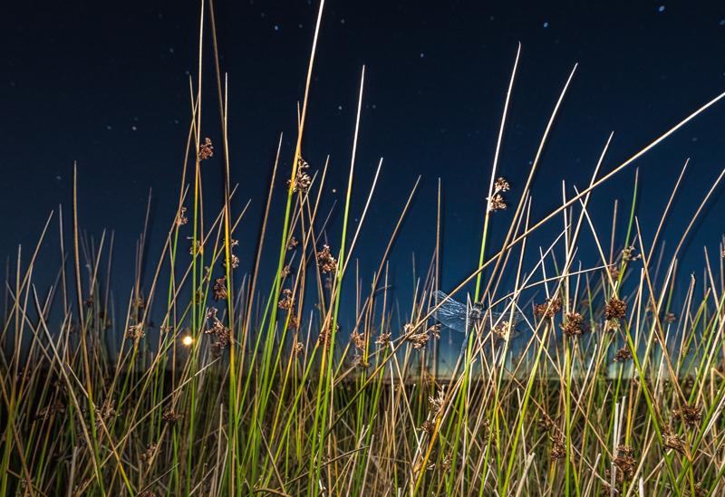 black darter, moon, reeds, stars Long Mynd - Wide-angle Wildlife
