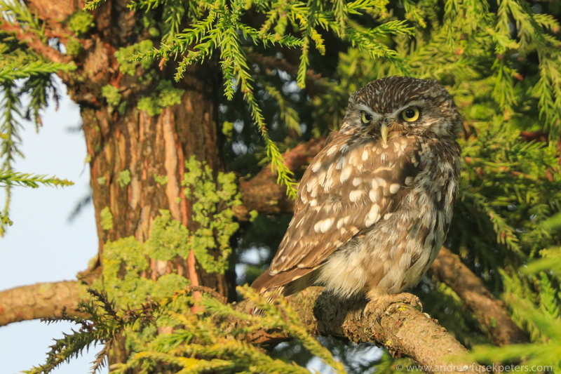Little owl in the tree - The Hill & Vale of Home