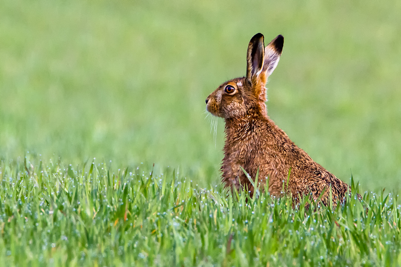 Hare in the dew - Hares