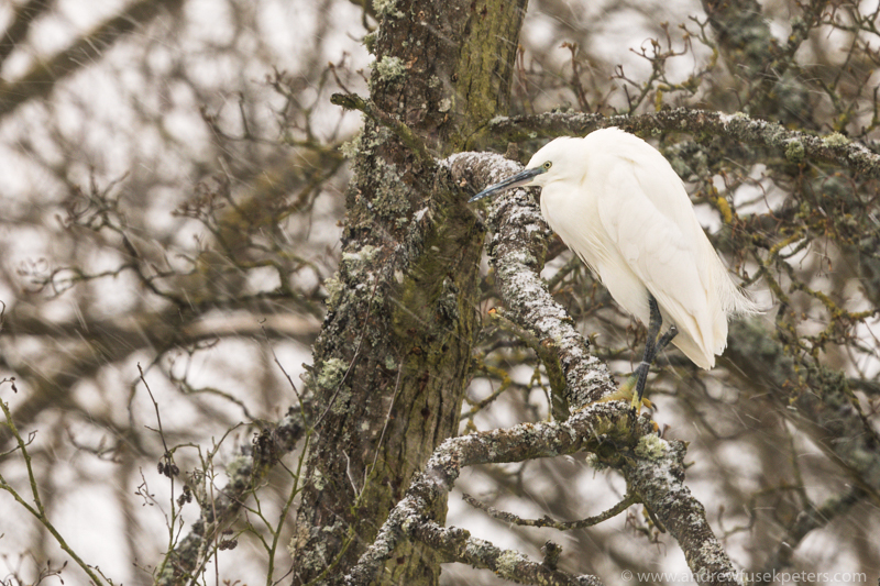 Little egret in the blizzard on branch-1 - The Hill & Vale of Home