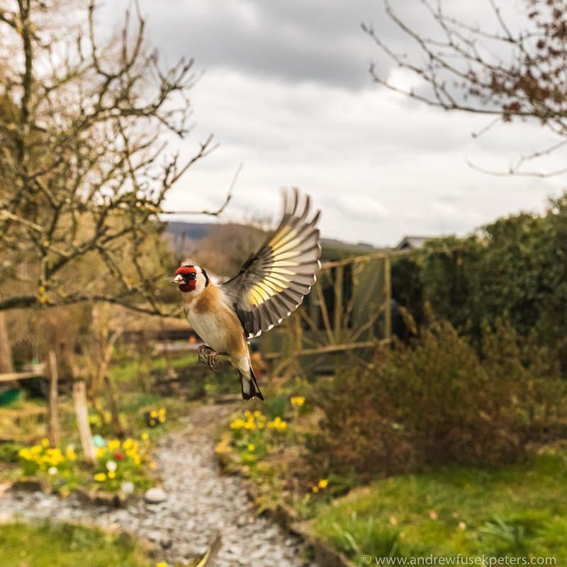 goldfinch in flight wide angle - Garden Birds