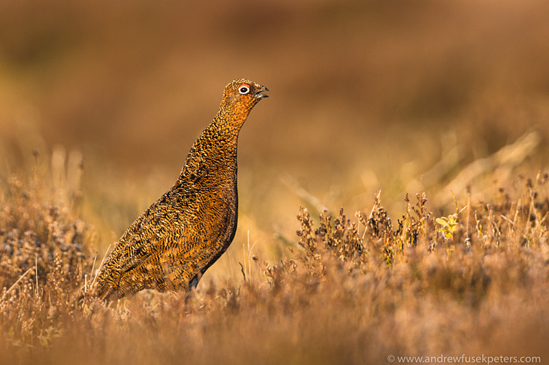Young male red grouse declaring territory, dawn, Stiperstones - Upland, Shropshire's Long Mynd & Stiperstones