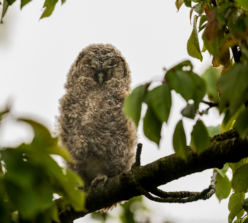 tawny chick on a branch - UK Owls