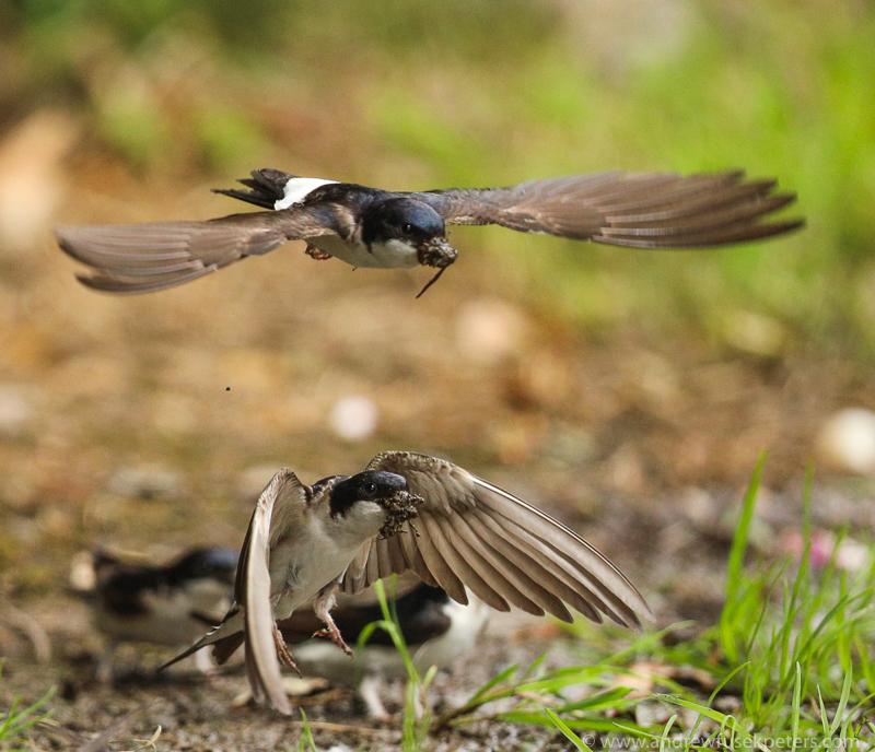 House martins mud gathering 6 - Garden Birds