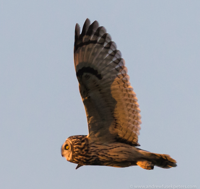 short eared owl at sunset 1 - UK Owls