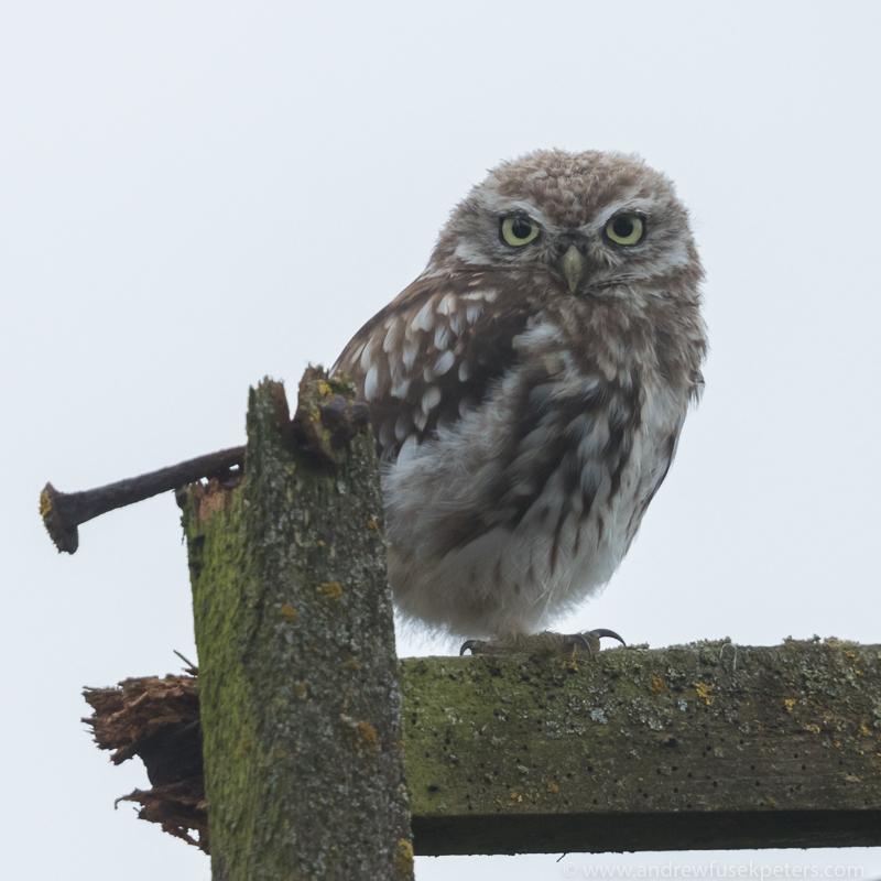 Little owl close-up portrait - UK Owls