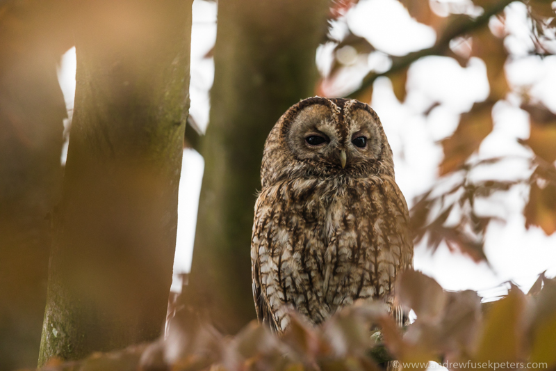 Tawny tree portrait 2 - UK Owls