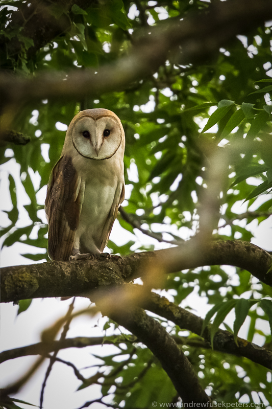 Barn owl portrait - UK Owls