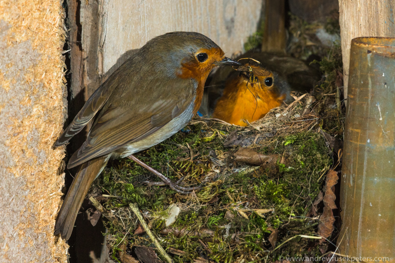 Male robin bringing crane fly to female garden shed Shropshire - UK Birds