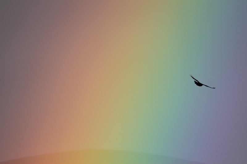 Buzzard in rainbow - Wilderland, Wildlife & Wonder from the Shropshire Borders