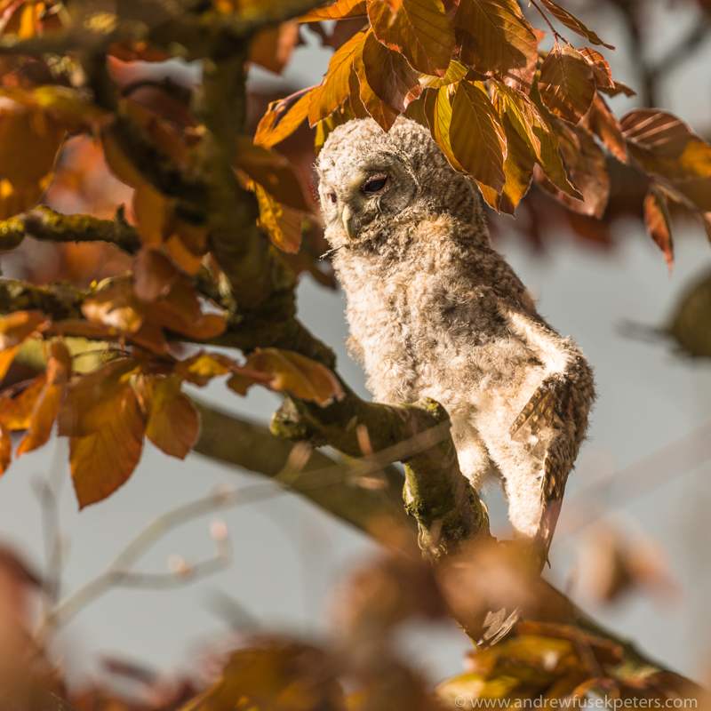 Tawny chick wing stretch 2 - UK Owls