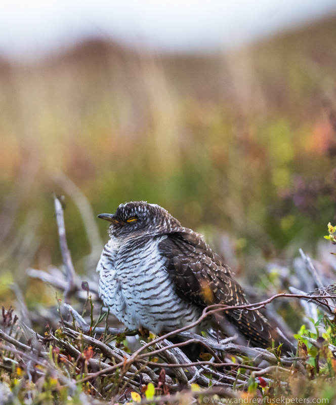 Juvenile Cuckoo on Stiperstones October 3 - UK Birds