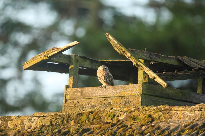 Little owl context - UK Owls