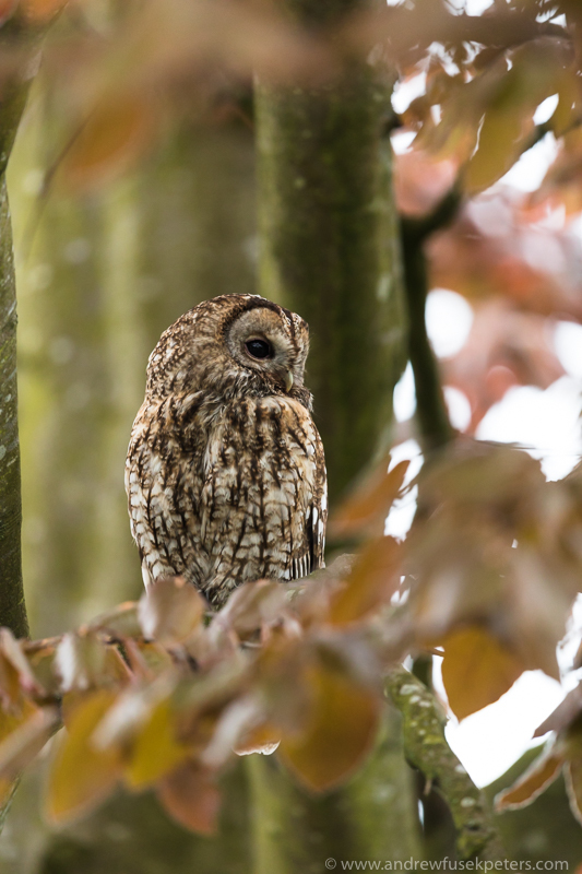 tawny tree portrait 3 - UK Owls